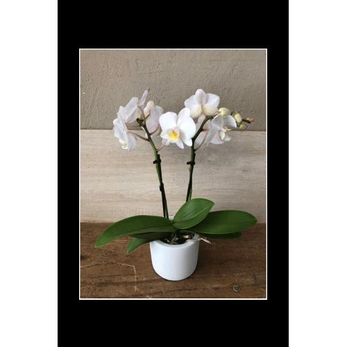 Mini-orchidée blanche 2 tiges et cache-pot